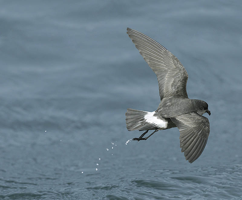 Fast frame rate and rapid, accurate autofocussing were needed to capture this European Storm-petrel in flight. ©Pail Sterry/BPOTY