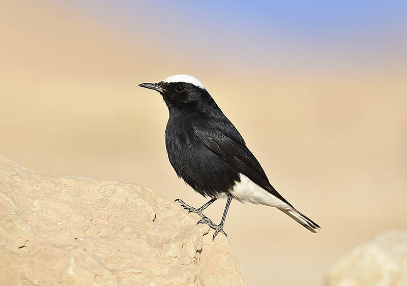 By using a 600mm lens and 1.4x converter to photograph this White-crowned Black Wheatear the depth of field is limited, throwing the background pleasingly out of focus. ©Paul Sterry/BPOTY
