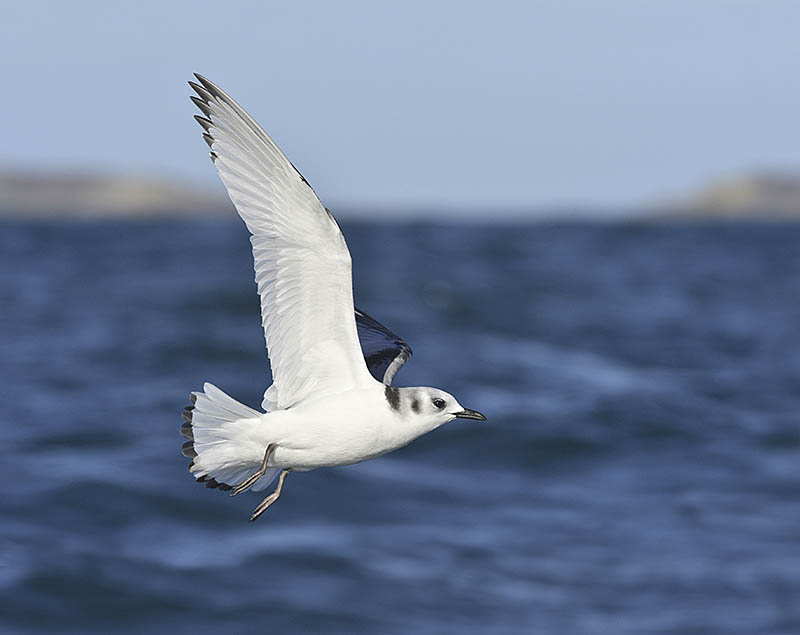 Exposure compensation of -1.7EV was needed to ensure the whites in this juvenile Kittiwake were not 'blown'. Tweaking during the editing process returned the previously dark sea to an appropriate level. ©Paul Sterry/BPOTY