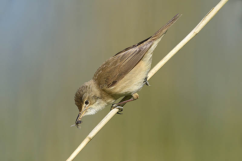 One of these Reed Warbler images was captured as a high quality JPEG while the other was captured in RAW. In terms of publishable detail, spot the difference. ©Paul Sterry/BPOTY