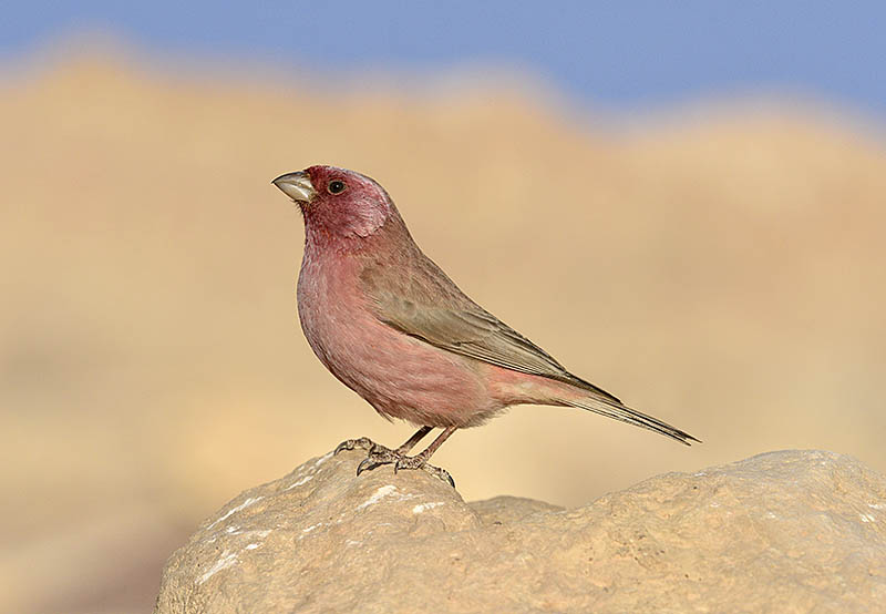 To throw the background out of focus this Sinai Rosefinch image was taken using a 600mm lens and 1.4x converter. ©Paul Sterry/BPOTY