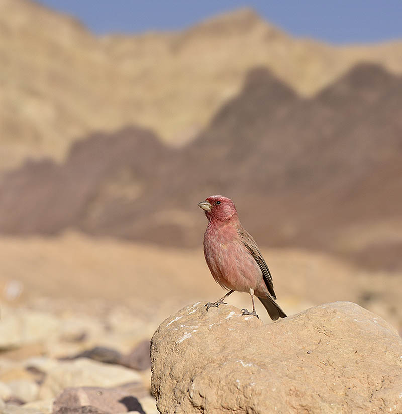 To place this Sinai Rosefinch in environmental context a 105mm macro lens was used, to allow for a greater depth of field. ©Paul Sterry/BPOTY