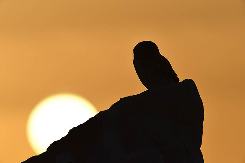 Using light in a different way, this is the same Little Owl, photographed at sunset. ©Paul Sterry/BPOTY
