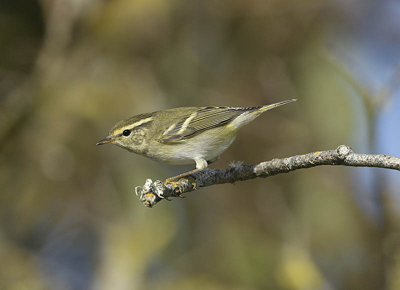 Migrant Yellow-browed Warblers often settle into a routine and follow a regular route. This one regularly used this perch as it flitted from one Ivy clump to the next. ©Paul Sterry/BPOTY