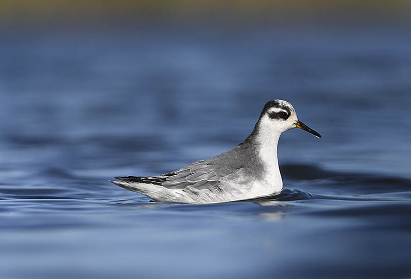 Migrant Grey Phalaropes are notoriously indifferent to people and make ideal photographic subjects. Try getting down to their level for your shots and be sure to dress for the occasion if you want to avoid getting wet. ©Paul Sterry/BPOTY