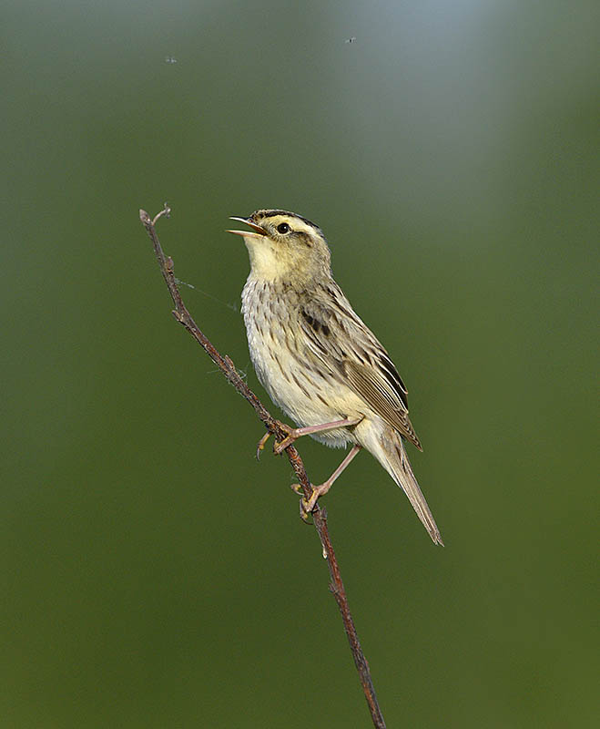 This Aquatic Warbler was photographed, with permission, in Belarus using a portable hide. A degree of fieldcraft was needed too: the species has very precise habitat requirements and typically only sings in the early evening, 6.30-7.30pm being the witching hour. ©Pail Sterry/BPOTY