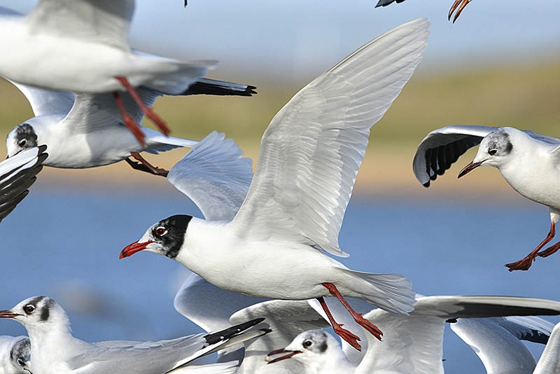 As well as taking isolated flying gulls at a feeding location, don't neglect images of the melee. And you never know what might turn up amongst the common species – something like this Mediterranean Gull that was unexpectedly mixing with its Black-headed relatives. ©Paul Sterry/BPOTY