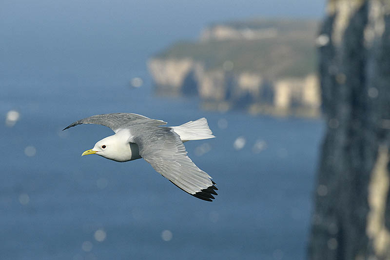 At seabird colonies such as the RSPB's Bempton Cliffs photographers are spoilt for choice. Try tracking an individual such as this Kittiwake until you judge the background does justice to the bird itself. ©Paul Sterry/BPOTY