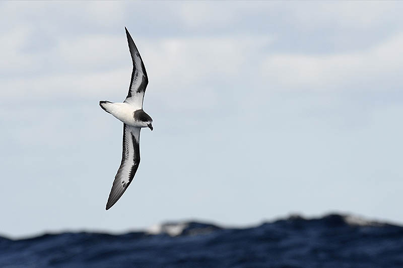 Pterodroma  petrels such as this Bermuda Petrel are awesome seabirds. Their astonishing speed and aeronautic mastery of the winds make them masters of their environment, and the most challenging of their kind to photograph. ©Paul Sterry/BPOTY