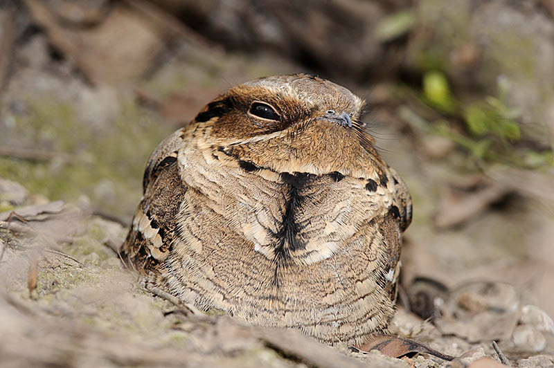 Nocturnal species such as this Large-tailed Nightjar typically roost in the daytime in deep shade. The subtle use of flash allows their plumage colours and patterns to be fully appreciated. ©Paul Sterry/BPOTY
