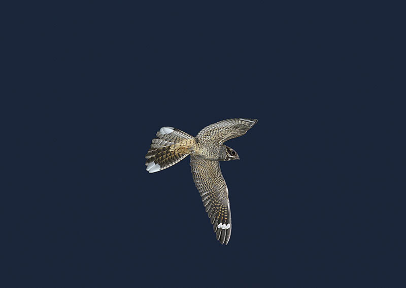 Being able to photograph a Nightjar, in flight and at night, is perhaps the ultimate testament to the technology of current generation digital cameras and autofocus lenses. ©Paul Sterry/BPOTY