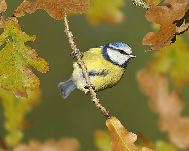 This Blue Tit was photographed as it approached a winter feeding station, with its perch framed by appropriate placement of foliage. ©Paul Sterry/BPOTY