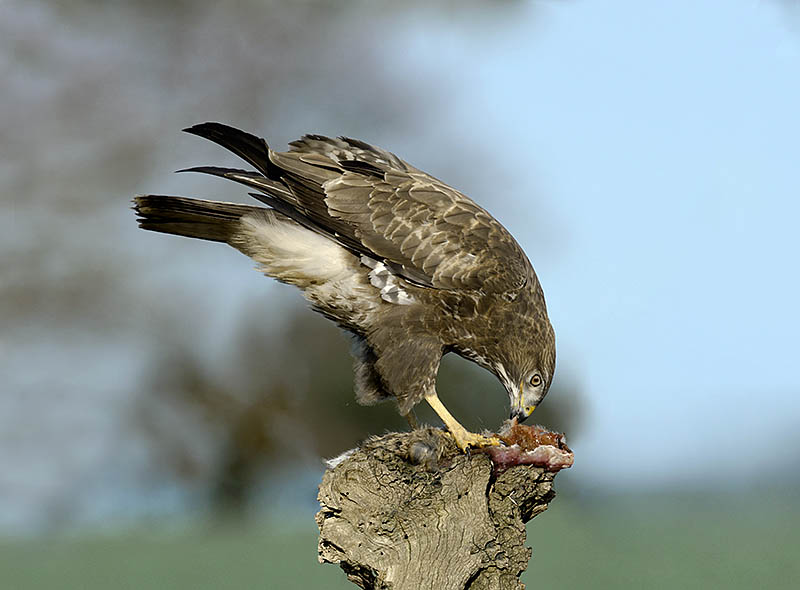 : It is relatively easy to attract Buzzards to feed on roadkill Rabbits. But encouraging raptors to feed on carcasses away from roads does have a dark side: poisoned carrion is used to illegally kill raptors. So avoid the technique if you live in an area where this might happen. ©Paul Sterry/BPOTY