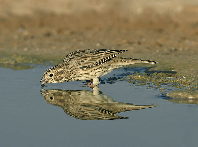 While drinking, this Corn Bunting provided an opportunity to capture its pristine plumage perfectly reflected in the pool. ©Paul Sterry/BPOTY