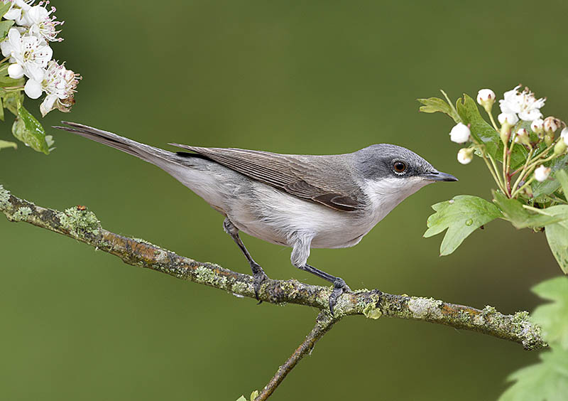 By placing a sprig of flowering Hawthorn as an approach 'perch' to a drinking pool, this aesthetically pleasing image of a Lesser Whitethroat was taken. ©Paul Sterry/BPOTY