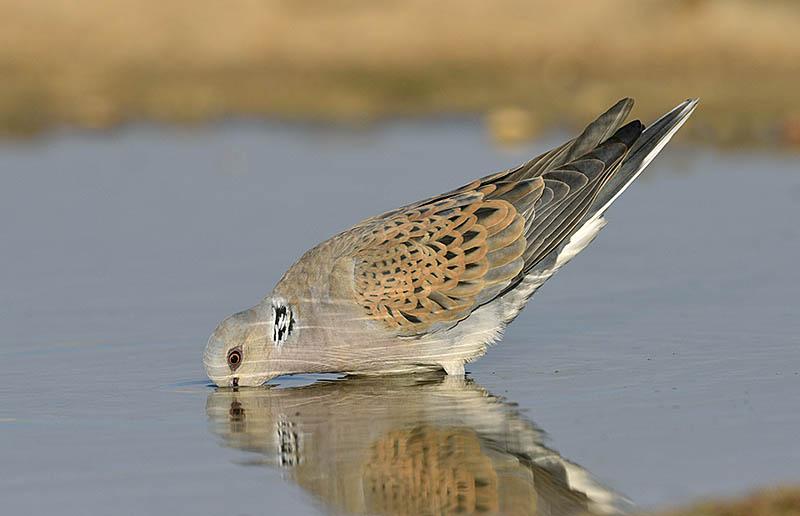 Migration can be thirsty work and Turtle Doves will seldom pass up an opportunity for a drink.©Paul Sterry/BPOTY