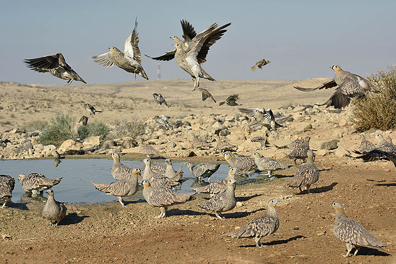 An established waterhole hide in Israel's Negev Desert acts like a magnet for flocks of Crowned Sandgrouse. ©Paul Sterry/BPOTY