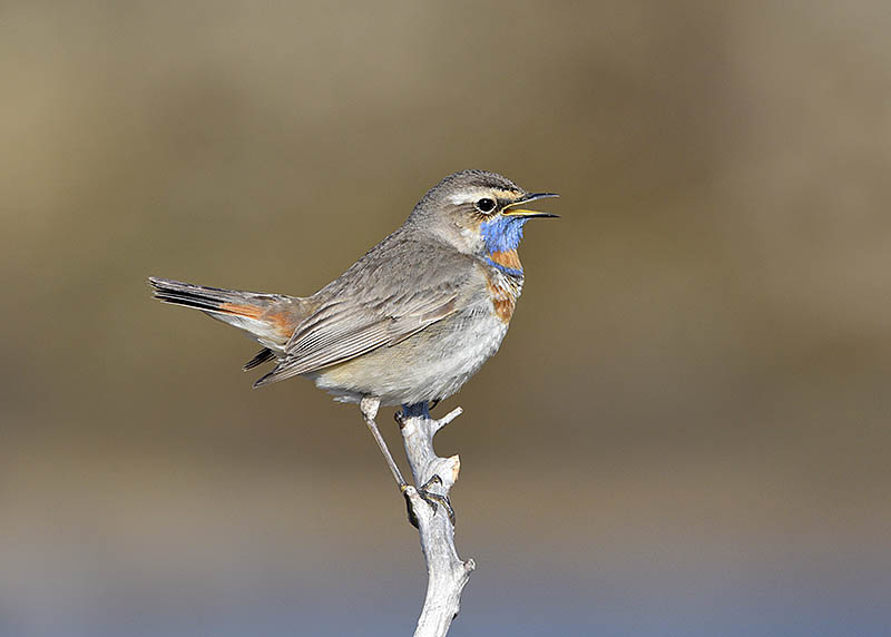 With certain species and in particular locations, birds will happily sing of their own accord without resorting to taunting them with playback. For example, Bluethroats in arctic Norway are often indifferent to people, making them ideal for photography. ©Paul Sterry/BPOTY