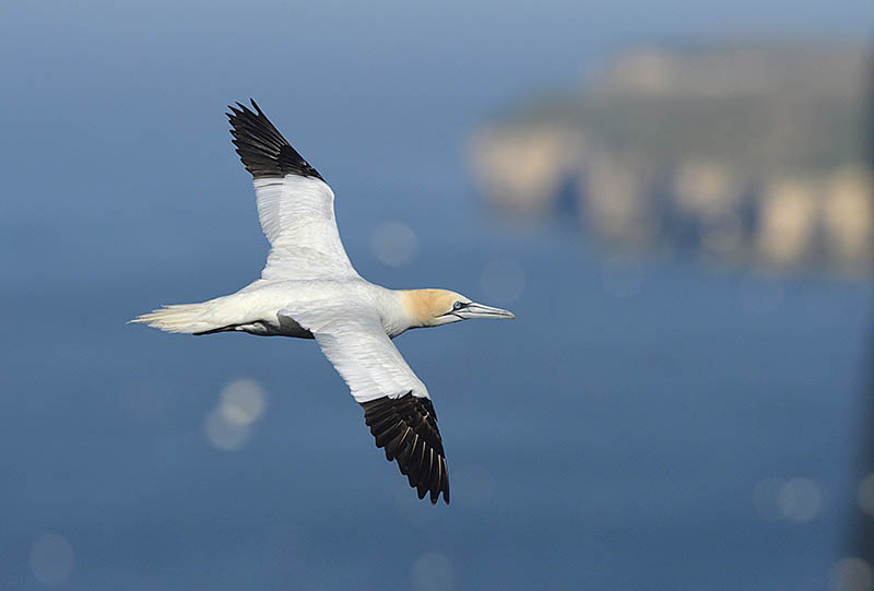 Gannets are among the photographic highlights of a visit to the RSPB's Bempton Cliffs reserve on the Yorkshire coast. ©Paul Sterry/BPOTY