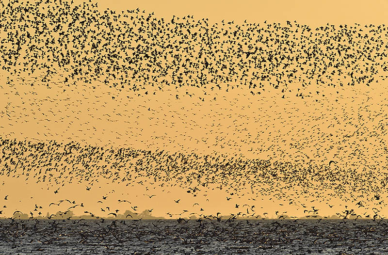 Wader flocks at Snettisham, Norfolk photographed at sunset. ©Paul Sterry/BPOTY
