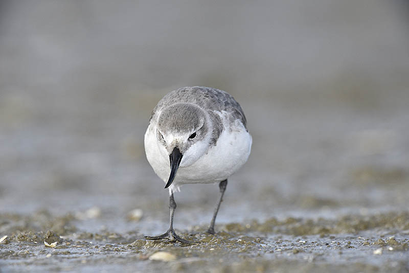 Named for the extraordinary, asymmetrical bill, the Wrybill is a wader that is unique to New Zealand. ©Paul Sterry/BPOTY