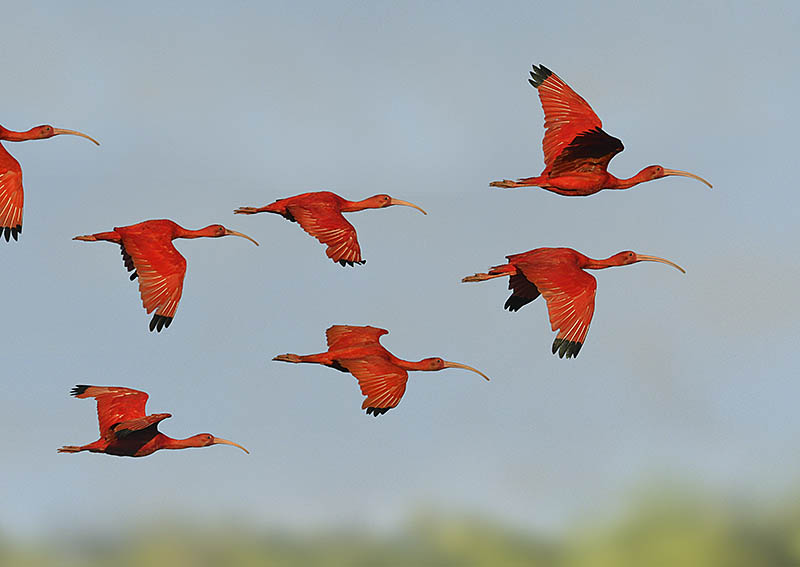 Scarlet Ibises are improbably colourful birds. Because they arrive at Caroni Swamp just before sunset, photographic opportunities are limited in duration so you need to be ready for action. ©Paul Sterry/BPOTY