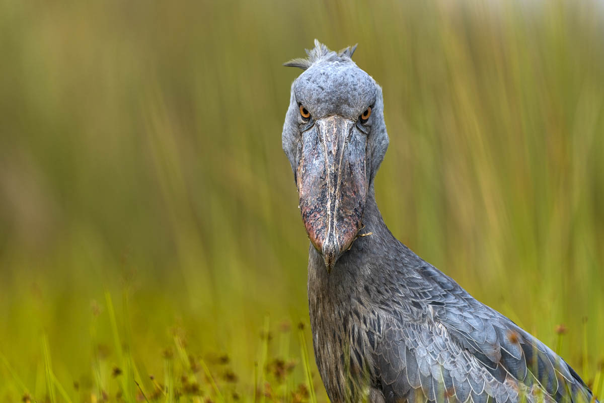 Eye to Eye   Shoebill  Balaeniceps rex . Mabamba Swamps, Entebbe, Uganda.