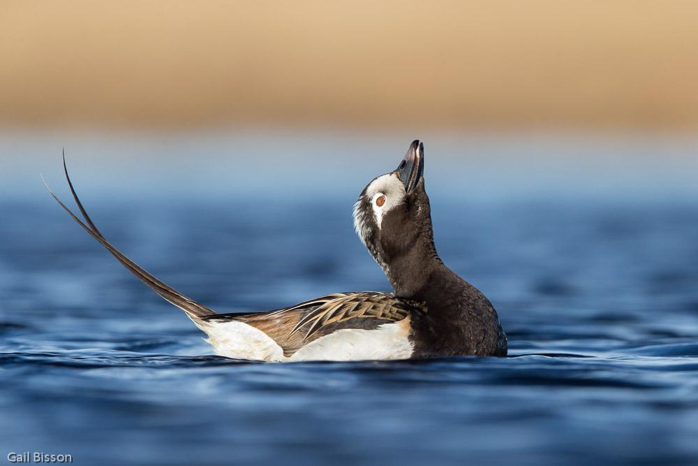 Long-tailed Duck  Clangula hyemalis . Alaska, United States of America.