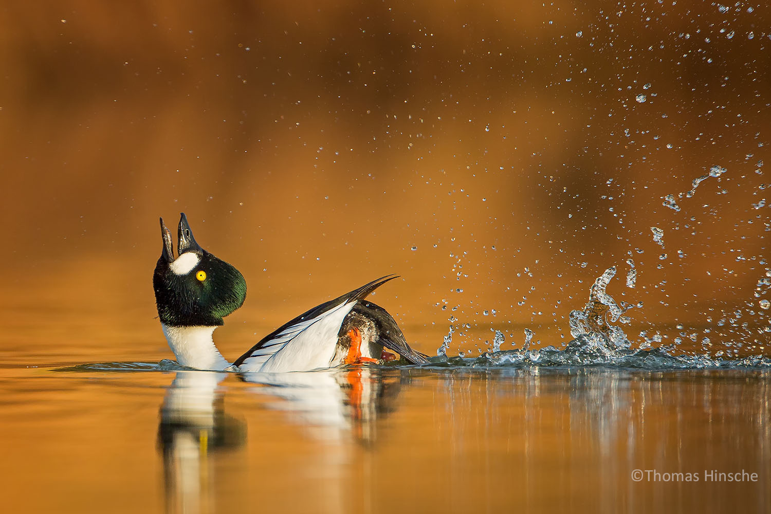 This stunning image of a Goldeneye by Thomas Hinsche is just one of the hundreds of amazing images that grace the BPOTY 2019 shortlist. The judges will have a difficult task in selecting the winning images from such accomplished entries.