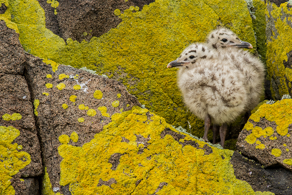 Gull chicks and lichen  The Isle of May in the Firth of Forth is filled with fluffy chicks in the summer, creating fantastic opportunities for photos. However, you need to be careful not to approach them too closely in case you stress the parents. I was lucky enough to find these chicks waiting on an rocky outcrop covered in this beautiful bright yellow Caloplaca lichen. A parent returned soon after to deliver them an unrecognisable piece of meat….