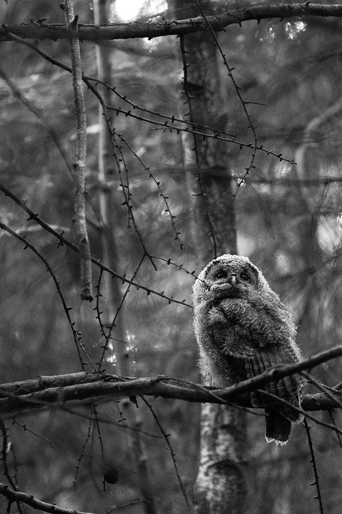 Tawny owlet  The late Eric Hosking, godfather of bird photography, famously lost an eye to a Tawny Owl.. This fact was certainly in my mind whilst I was taking this photo! Apart from that, it was a joy watching these owlets slowly work out how to use their wings. I had to work quickly though, as they would only become active half an hour before sunset. Due to the lack of light, this photo was taken with a relatively low shutter speed, requiring the use of a tripod.