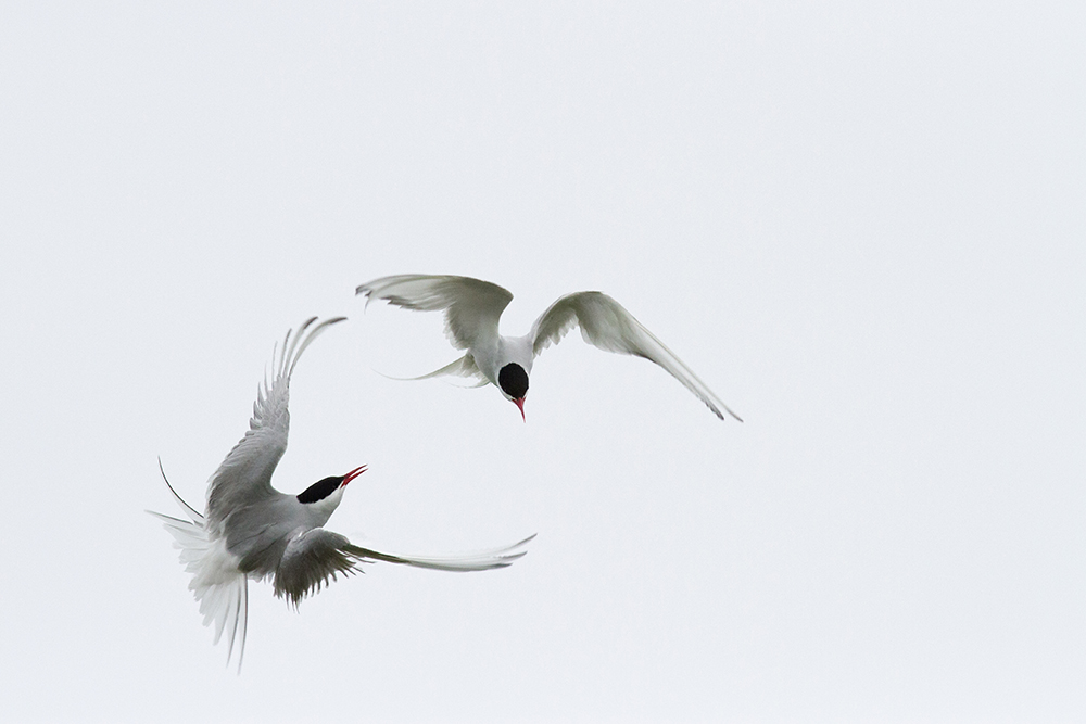 Terns squabbling.  Arctic Terns are an absolute joy to watch. You can see why they're nicknamed sea-swallows. They're so agile and elegant in the air, despite their constant squabbling with neighbours and humans alike. Fortunately the sky was overcast, so correctly exposing this airborne argument wasn't too much of a challenge.
