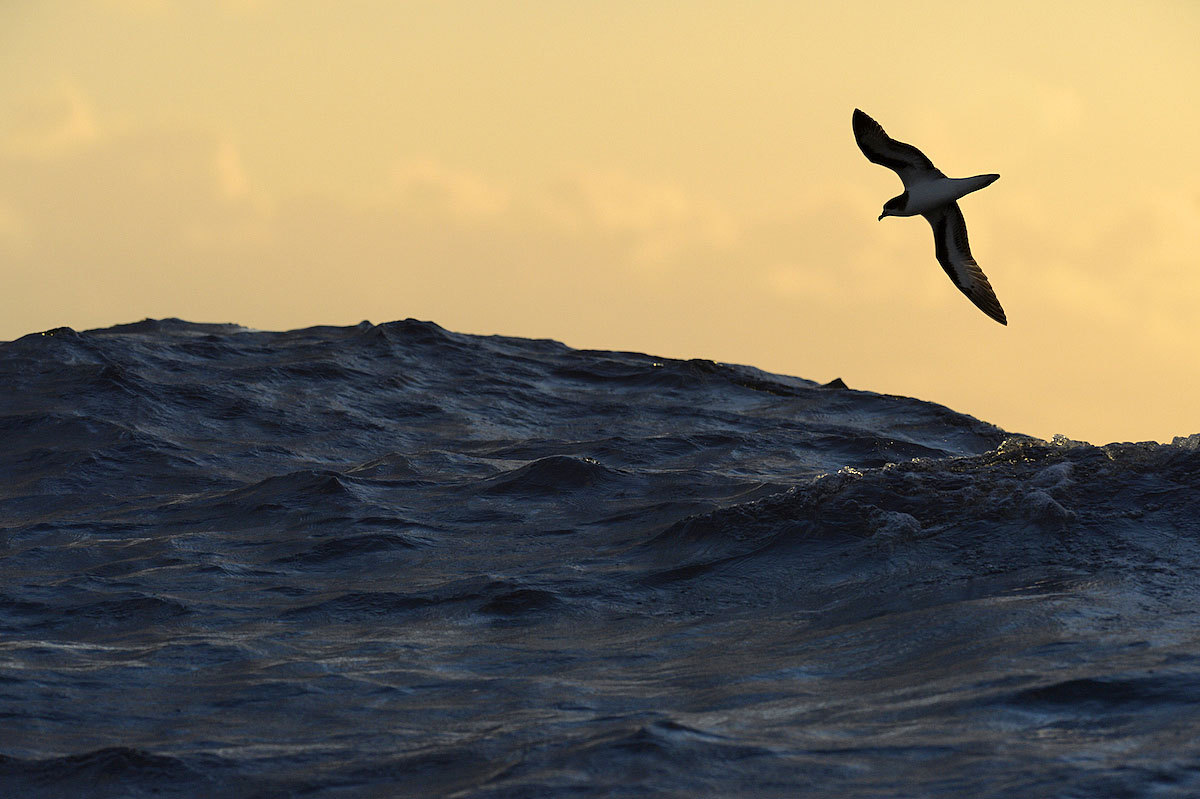 Bermuda Petrel - Pterodroma cahow . Photo ©Paul Sterry/Nature Photographers Ltd