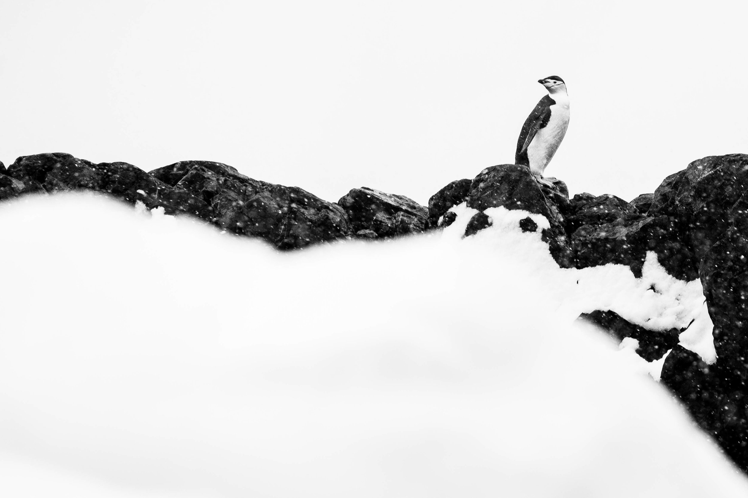 Weathering the Storm  A bold Chinstrap Penguin stands resolute against a battling snow storm approaching from the rough sea. Having been out fishing, this charismatic penguin had a long climb back to the security of its colony, which was hidden behind the mountain tops. I have a lot of admiration for these small birds as they prevail in seemingly inhospitable environments.