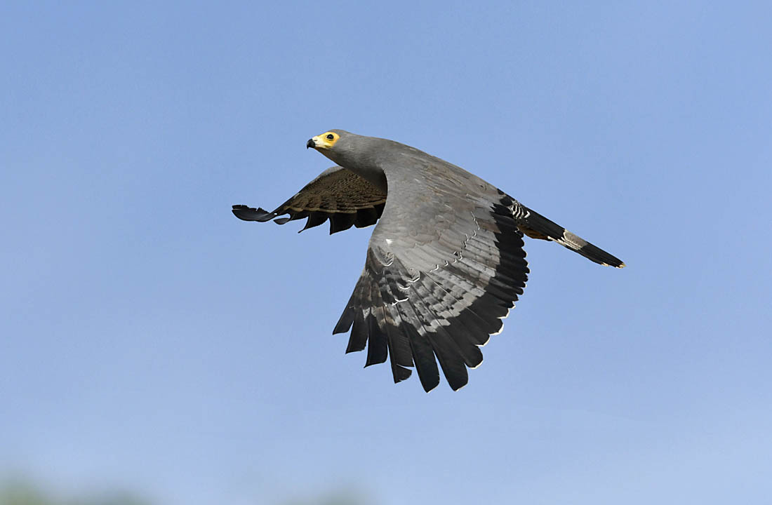 The African Harrier-hawk  Polyboroides typus  is one of the most conspicuous raptors in The Gambia and is particularly evident where light woodland sits alongside arable fields and rice paddies.