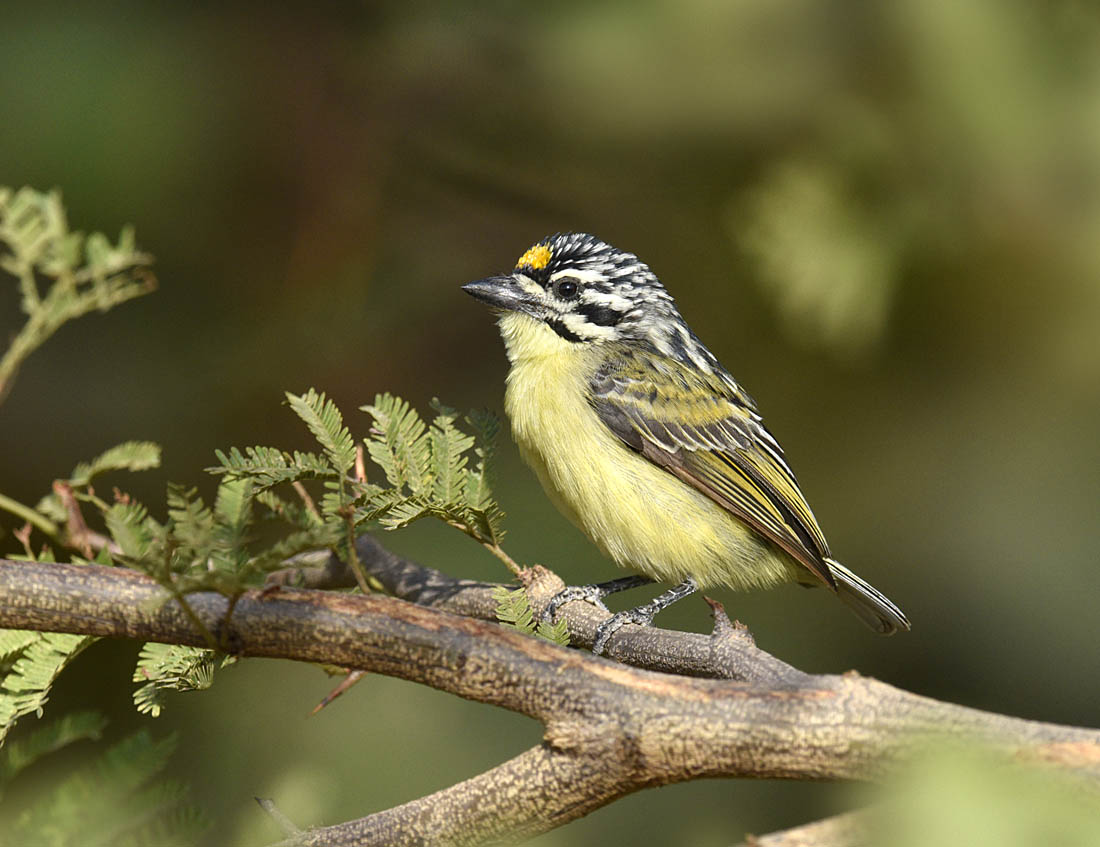 A distant relative of woodpeckers, the Yellow-fronted Tinkerbird  Pogoniulus chrysoconus  is found in Acacia woodland.