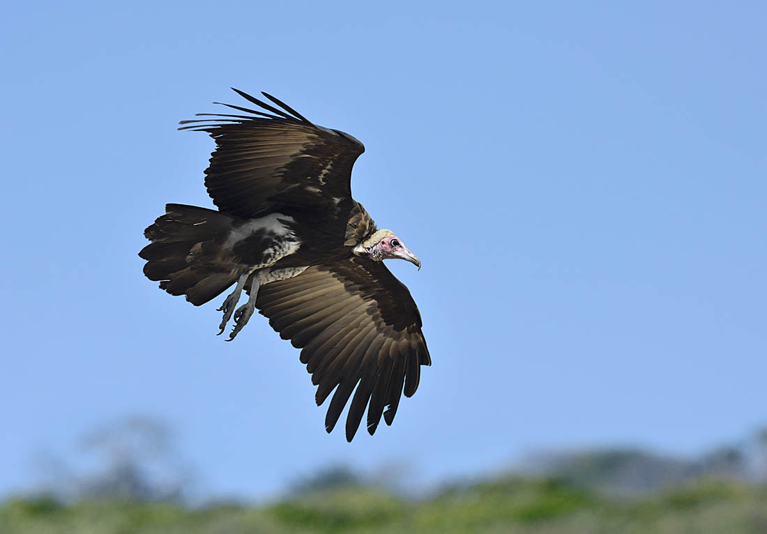 A Hooded Vulture  Necrosyrtes monachus  coming in to land at the Kotu Creek feeding station.