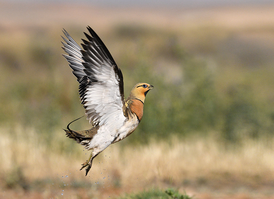 Having soaked his belly feathers in water, this male Pin-tailed Sandgrouse flew off to give his chicks a drink, somewhere out the arid steppes.