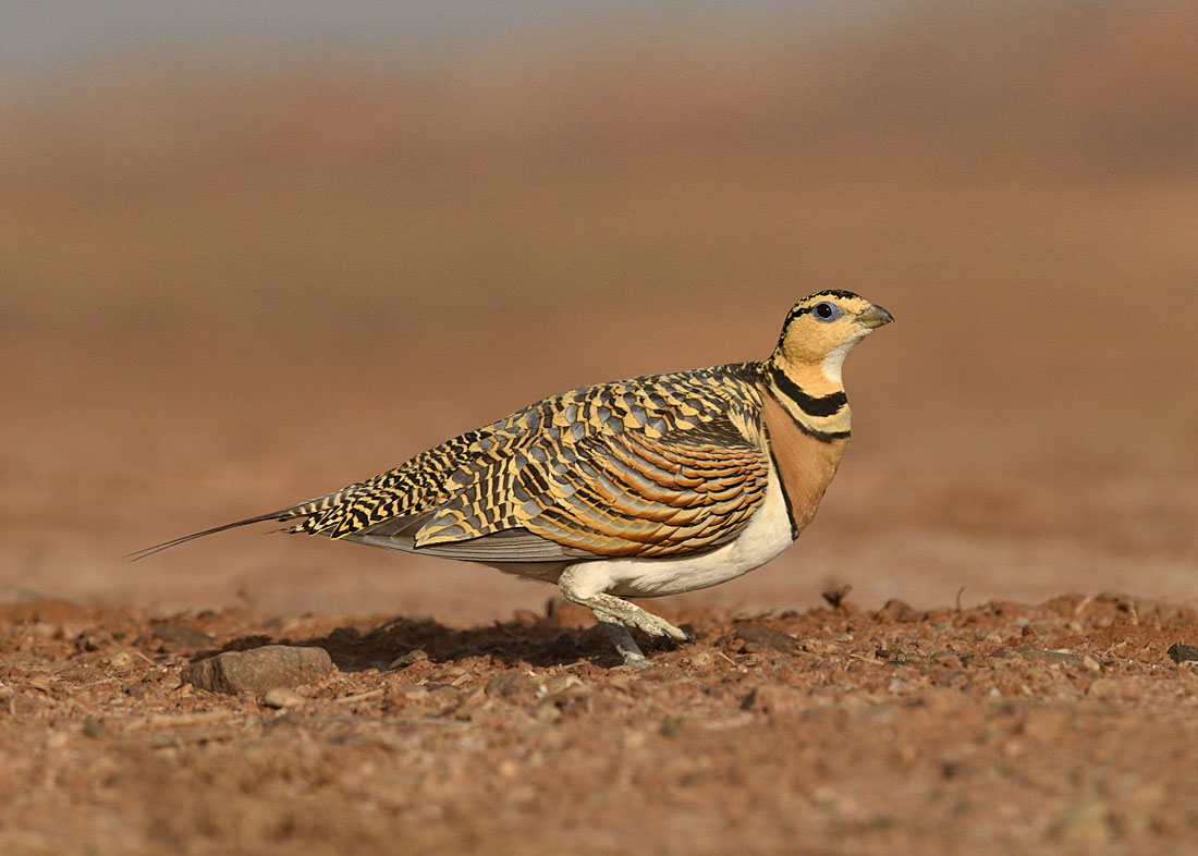 In places the red soils and rocks lend the landscape a Martian quality, the red colours complementing those of this female Pin-tailed Sandgrouse.