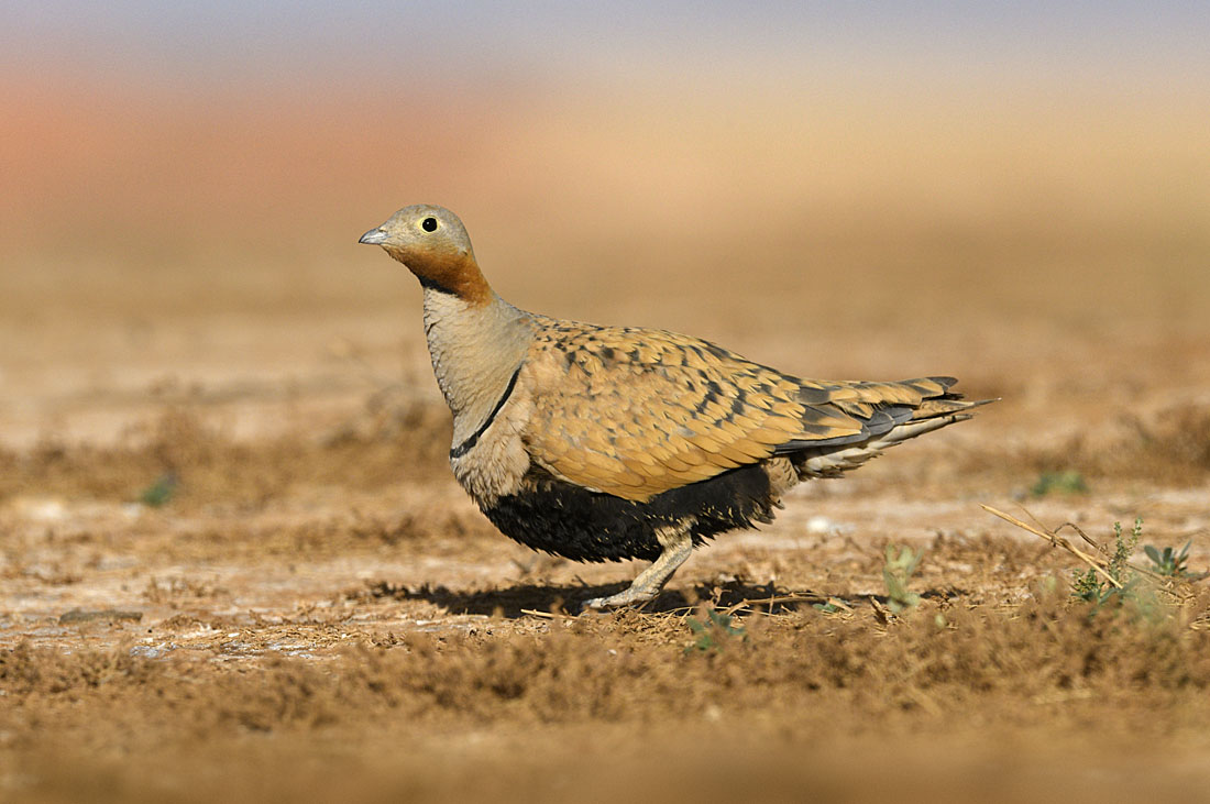 The colours of this male Black-bellied Sandgrouse are a good match for the contrast and tones of the landscape.