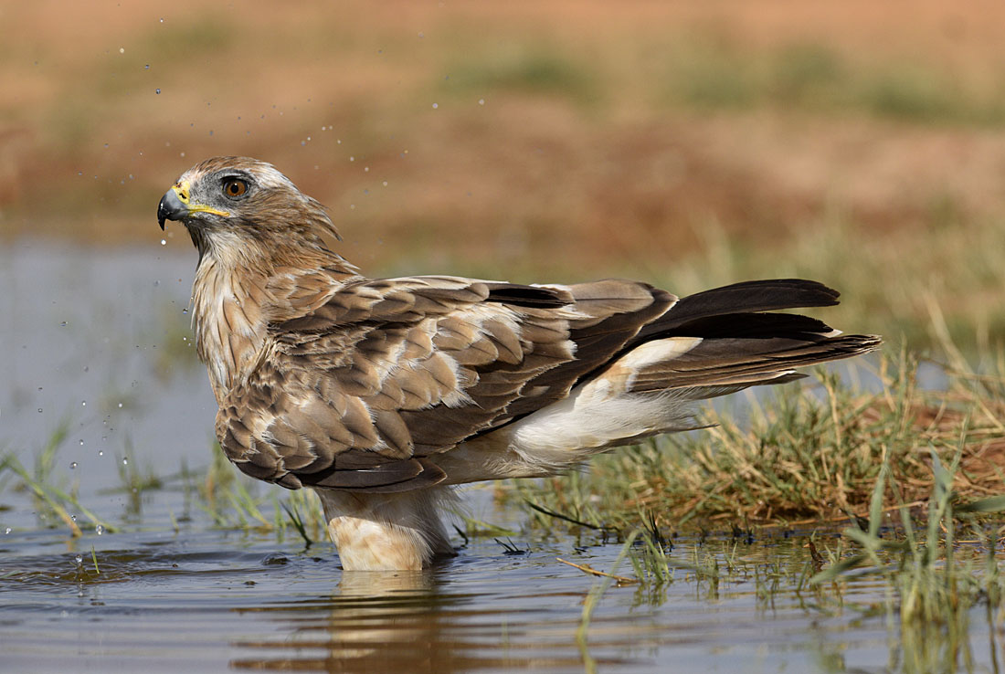 The heat of the day is almost unbearable and otherwise shy species such as this Booted Eagle sometimes forego caution in favour of a good drink.