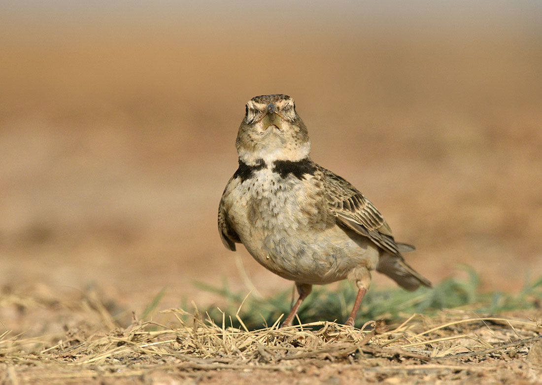 The Spanish plains are renowned for their larks. Although the chances of seeing the region's speciality Dupont's Lark in high summer are remote, four other species are much in evidence near water. Crested, Greater Short-toed and Lesser Short-toed are all around and most impressive of course is Calandra Lark.