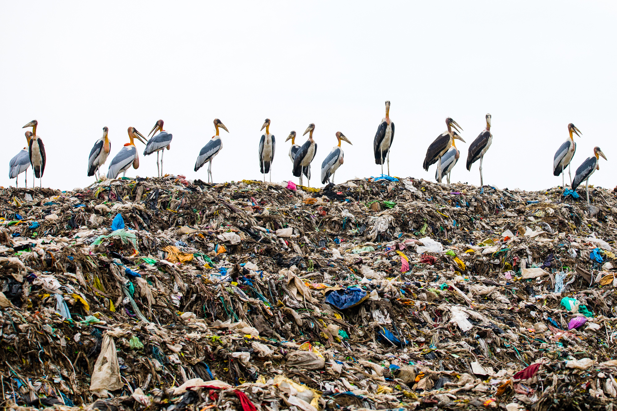 Greater Adjutant Storks line up at the Boragaon Landfill in Northeast India. ©Carla Rhodes
