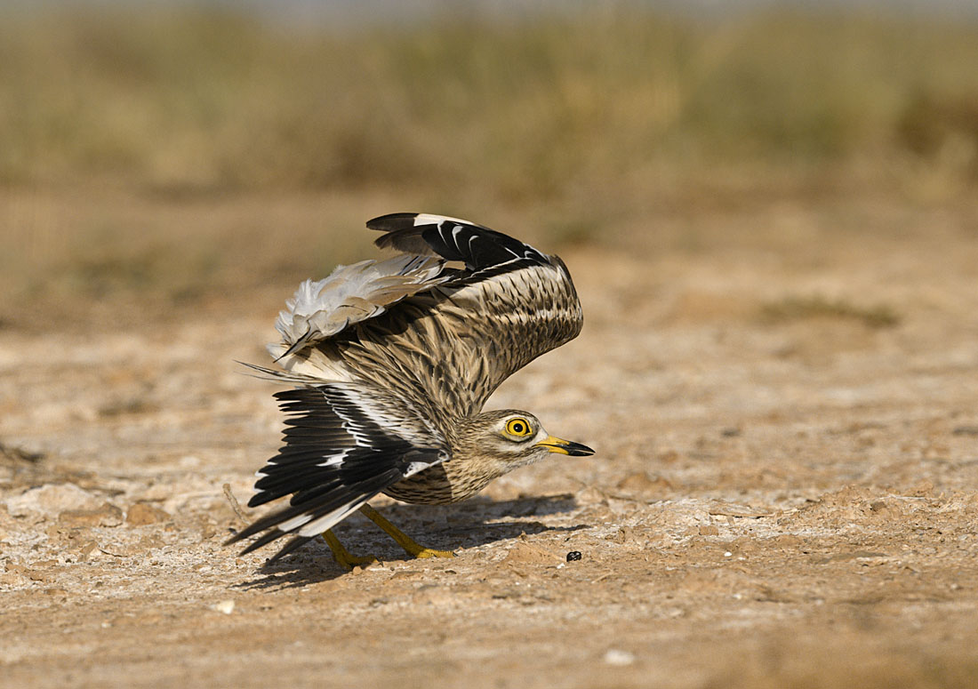 Displaying Stone-curlew. ©Paul Sterry/Nature Photographers Ltd
