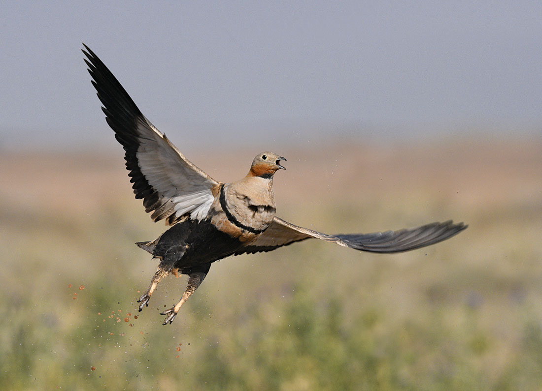 Black-bellied Sandgrouse - a water-soaked male taking flight. ©Paul Sterry/Nature Photographers Ltd