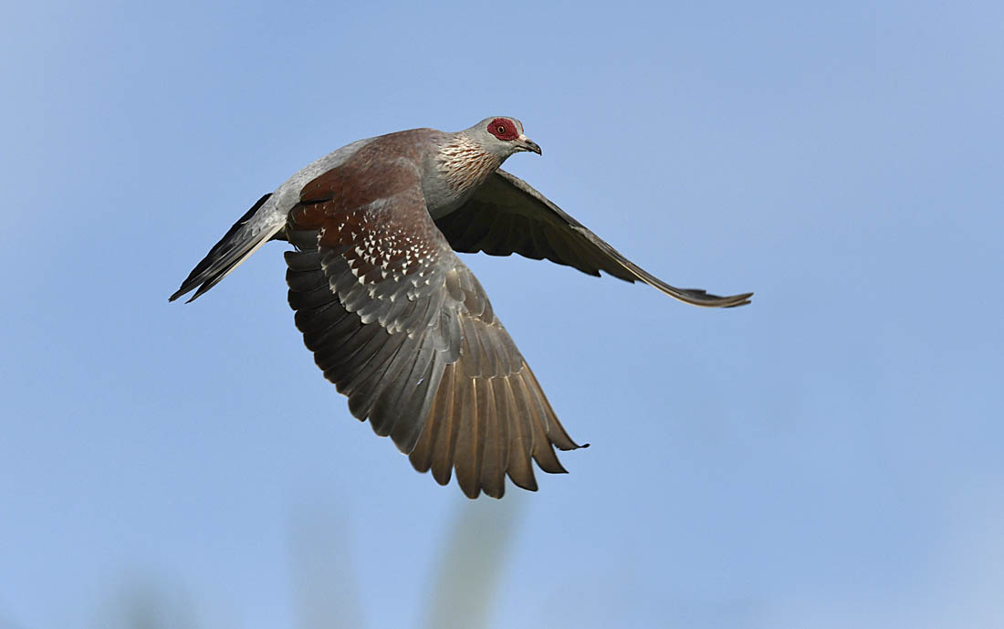 Speckled Pigeon. ©Paul Sterry/Nature Photographers Ltd