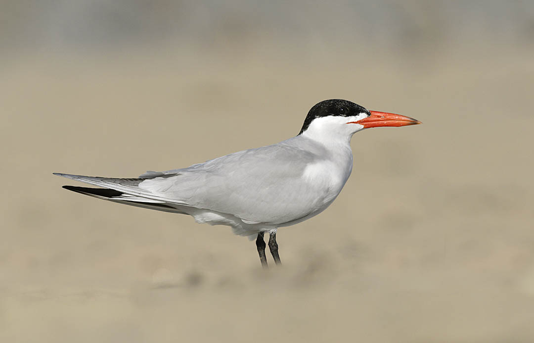 Caspian Tern. ©Paul Sterry/Nature Photographers Ltd