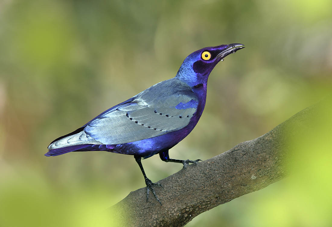 Purple Glossy-starling. ©Paul Sterry/Nature Photographers Ltd