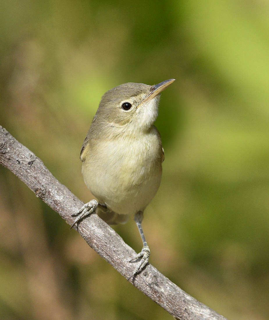 Western Olivaceous Warbler. ©Paul Sterry/Nature Photographers Ltd