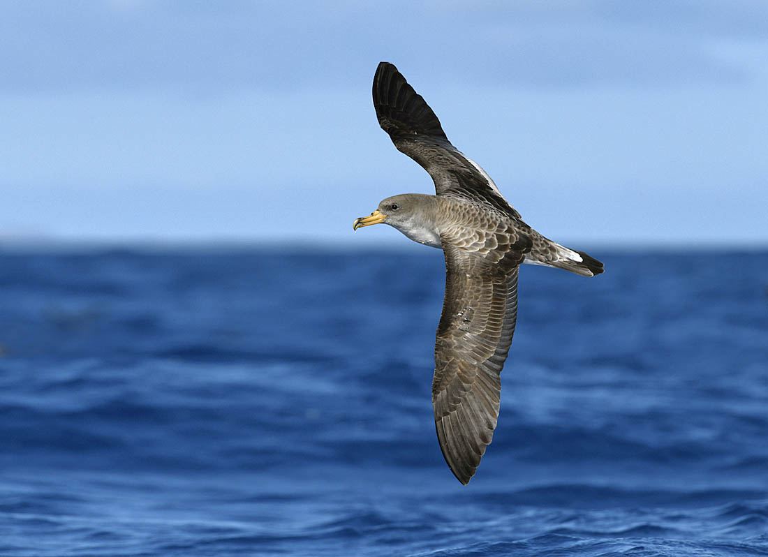 Cory's Shearwater. ©Paul Sterry/Nature Photographers Ltd